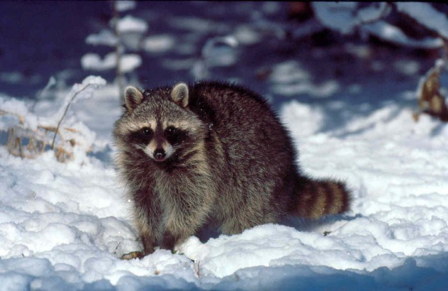 6-Raccoon