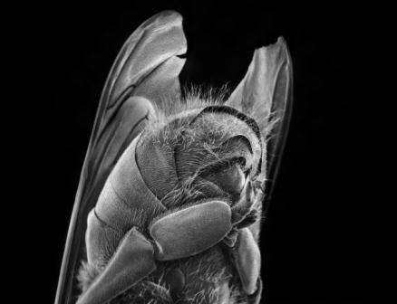 زنبور عسل در نمای خیلی درشت