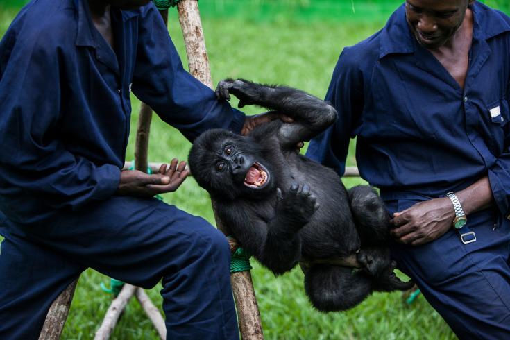 gorillaorphans_0012_resize