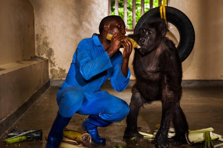 نجات گوریل کنگو: پناهگاهی برای حیوانات در خطر