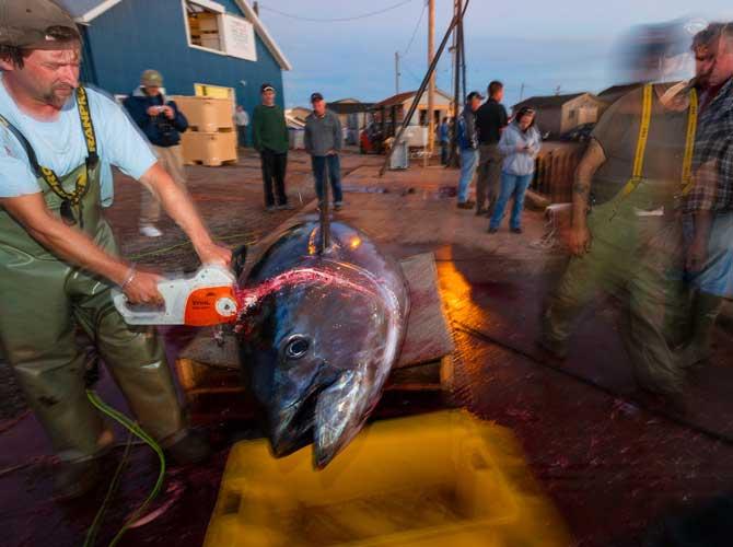 ماهی تن، غول زیبا و تمدن ساز رو به انقراض است