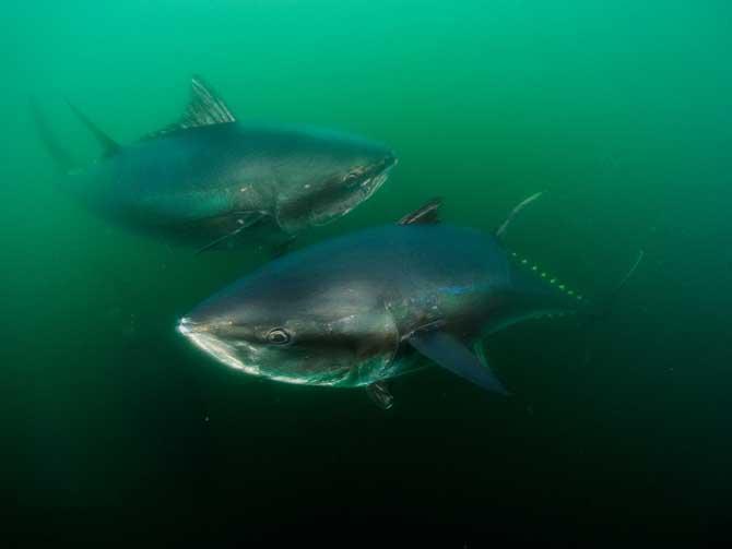 09-bluefin-tuna-off-nova-sc