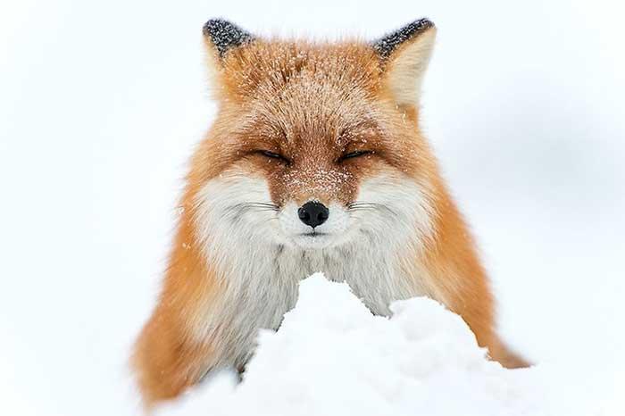 روباه سیبری در قاب عکس معدنچیان روس
